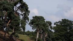 Conifer Spruce Fir Trees Scenic Landscape Stock Footage