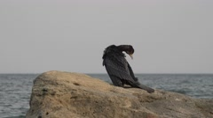 Great black cormorant, Genus: Phalacrocorax, 4k Stock Footage