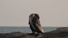 Great black cormorant, Genus: Phalacrocorax, 4k Stock Footage