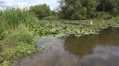 Pond with Water Lilies and Reeds Scenic Background Nature Background Stock Footage