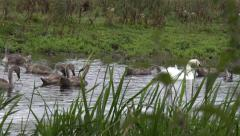Wildlife Birds Swans with young eating grass roots from river Nature Background Stock Footage