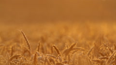 Close-up of a wheat field by sunset, headlight 3 - stock footage