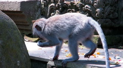 Monkey picking and eating offerings in front of temple in Sacred monkey forest - stock footage