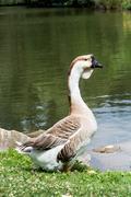 Swan goose (anser cygnoides) Stock Photos