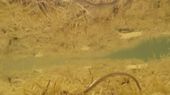 Active leeches in the water of a mountain lake Stock Footage