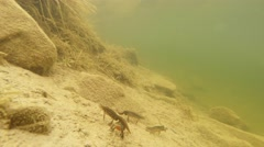 Male newts at the bottom of the pond will not understand where the female Stock Footage