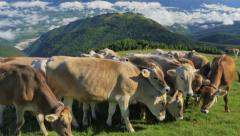 0443 UHD Cows on the Alps. Summer pasture Stock Footage