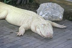 white alligator - stock photo