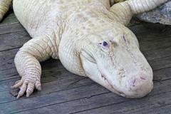 white alligator - stock photo