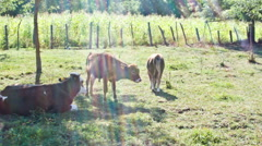 Group Of Cows Stock Footage