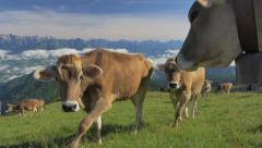 0441 UHD Cows on the Alps. Summer pasture Stock Footage