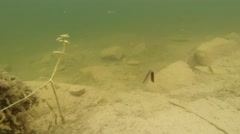 Leech swimming writhing in the depths of a mountain lake Stock Footage