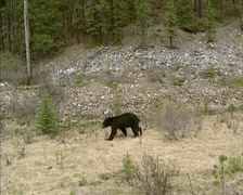 American Black Bear (Ursus americanus) - tracking shot -  roaming along roadside Stock Footage