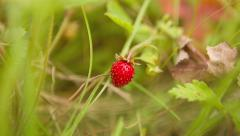 Zooming on Beautiful Strawberry in the Grass. DOF. HD 1080. Stock Footage