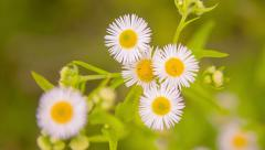Zooming on beautiful Daisies. Top view. HD 1080. - stock footage