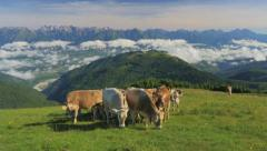 0442 UHD Cows on the Alps. Summer pasture Stock Footage