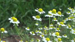 Fresh chamomile medical herbs blossoms in summer Stock Footage