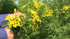 Gardener  hands pick medical herbs tansy (Tanacetum vulgare) flowers Stock Footage