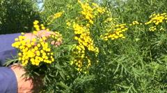 Gardener  hands pick medical herbs tansy (Tanacetum vulgare) flowers Stock Footage