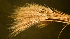 Farmer inspect sheaf of wheat, locked down, Stock Footage