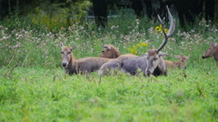 Group of Pere David's Deer during rut Stock Footage