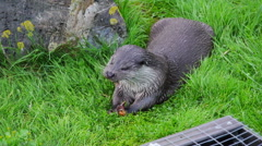 Otter eating Stock Footage
