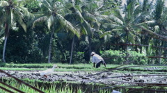 Rice field with farmer and duck walking around Stock Footage