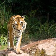 a rare endangered tiger walking - stock photo