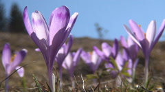 Crocus Flowers on Meadow in Mountains, Beautiful Violet Plants, Spring Landscape Stock Footage