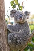Australian koala bear holding onto a tree trunk Stock Photos