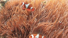 Aggressive Clownfish defending their home anemone Stock Footage