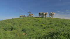 0447 Cows on the Alps. Summer pasture Stock Footage