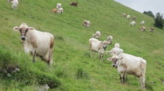 0438 Cows on the Alps. Summer pasture Stock Footage