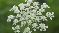 Queen Anne's Lace (Daucus carota) 1 Stock Footage