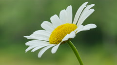 4K Ox-eye Daisy (Leucanthemum vulgare) 1 Stock Footage