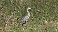 Wildlife Bird Heron on marshland swamp Nature Background Stock Footage