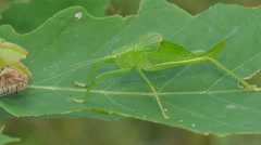 4K Common True Katydid (Pterophylla camellifolia) Nymph 2 Stock Footage