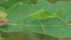 Common True Katydid (Pterophylla camellifolia) Nymph 2 Stock Footage
