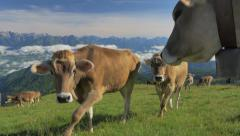 0441 Cows on the Alps. Summer pasture Stock Footage