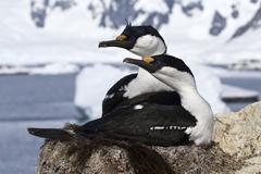pair of blue-eyed antarctic shags sitting in the nest - stock photo