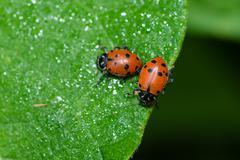 Red lady bug beetles feeding on a leaf Stock Photos