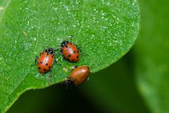 red lady bug beetles feeding on a leaf - stock photo