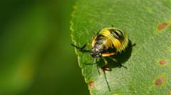 4K Green Stink Bug (Chinavia hilaris) Nymph 5 Stock Footage