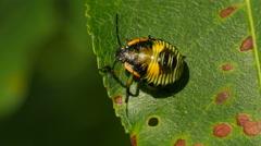 4K Green Stink Bug (Chinavia hilaris) Nymph 4 Stock Footage
