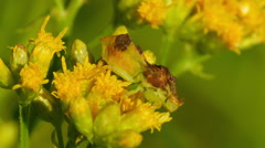 Pennsylvania Ambush Bug (Phymata pennsylvanica) Stock Footage