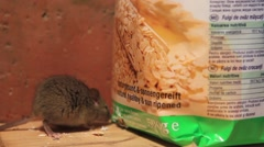 House mouse feeding on oats Stock Footage