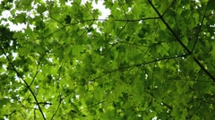 Maple Tree Leaves, Tracking Shot, Full-HD Stock Footage
