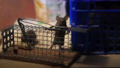 Two House mice smelling and climbing on a trap Stock Footage