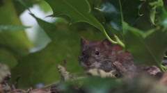 Bank vole resting under a bush Stock Footage