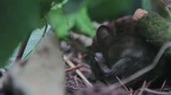 Bank vole cleaning itself Stock Footage